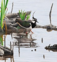 clive-meredith-lapwing