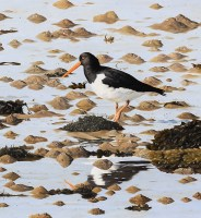 clive-meredith-oystercatcher